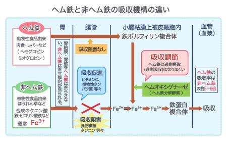 非ヘム鉄とヘム鉄の吸収経路の違い